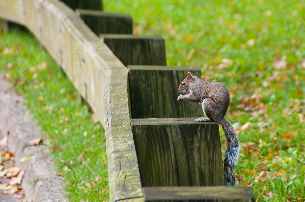 Squirrel-Central Park